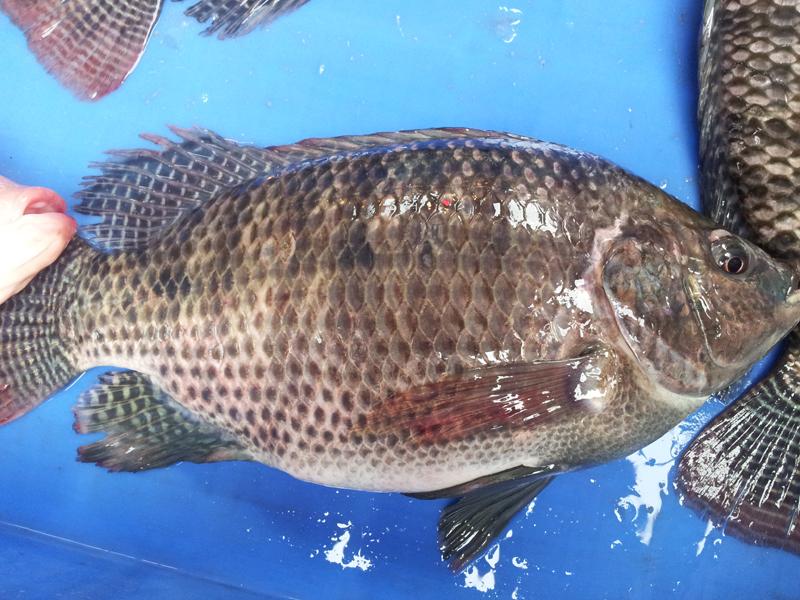 吳郭魚(台灣鯛)小百科