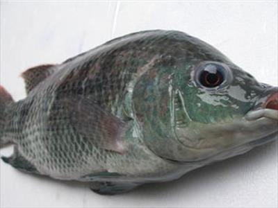 吳郭魚(台灣鯛)
